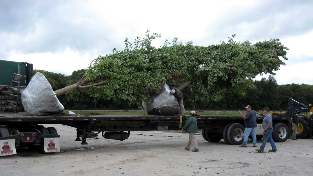 The Tree Patch Large Tree Landscaping Relocation Specialists