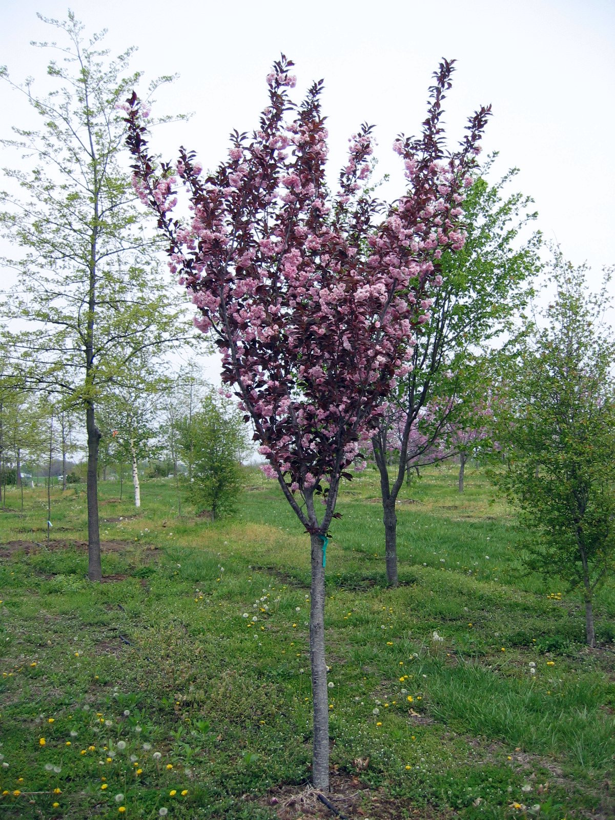 Crabapple Small flowering trees